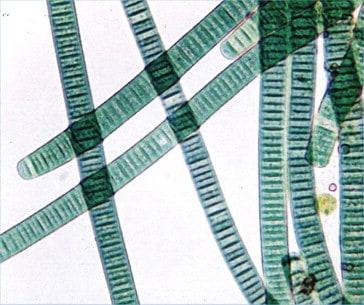 Blue-green algae-Ingredients