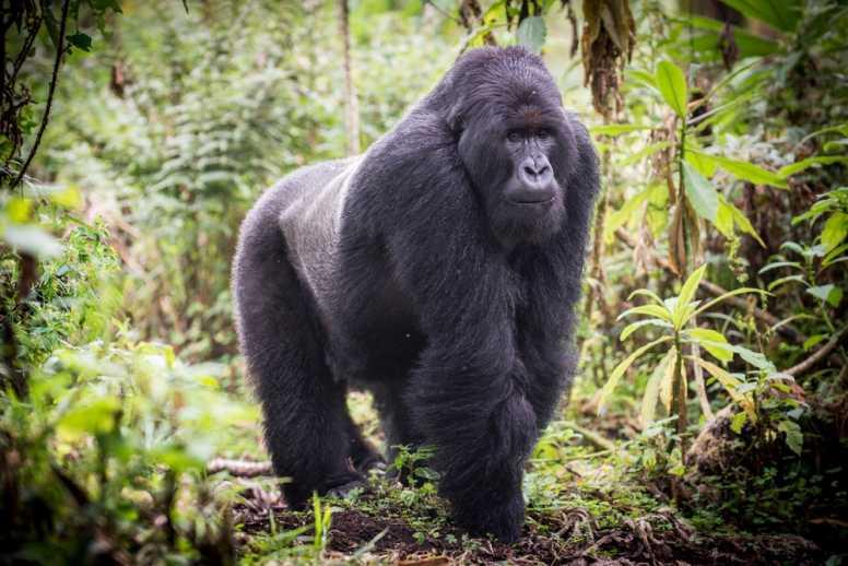 375k US Deaths, Zoo Gorillas Test Positive