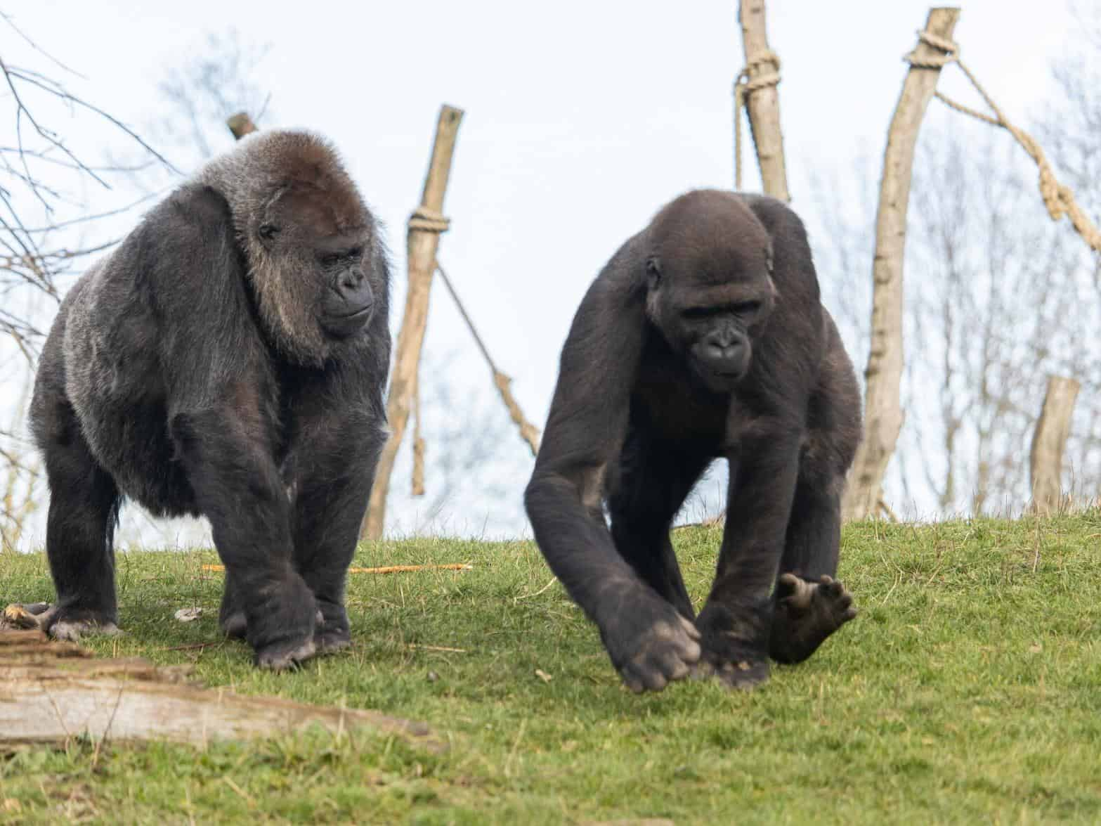 San Diego Zoo National Park Confirms Positive COVID-19 Cases In Gorillas