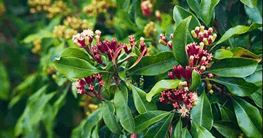 Clove Seed Powder