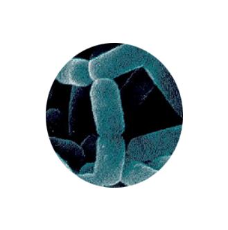 biofit ingredient 5 - Lactobacillus Casei