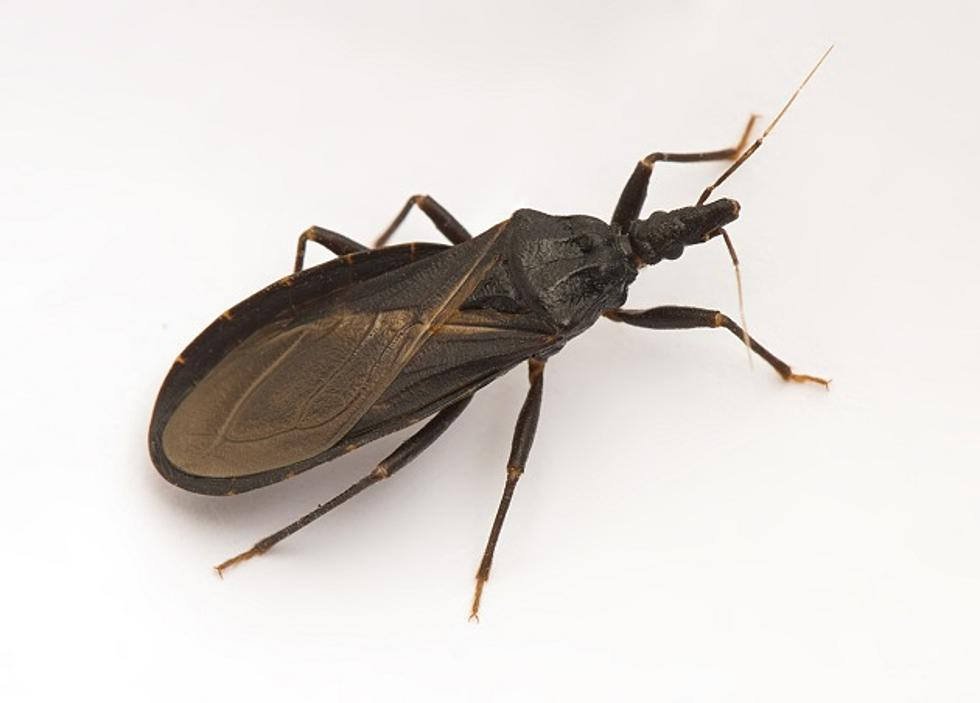 Americans Are Susceptible To Long-Term Health Complications Caused By Kissing Bugs