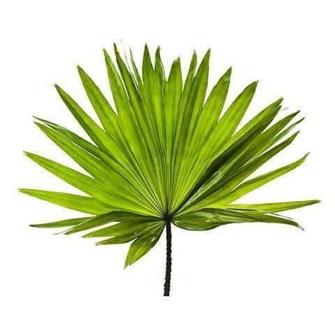 Fruit Extract of Saw Palmetto