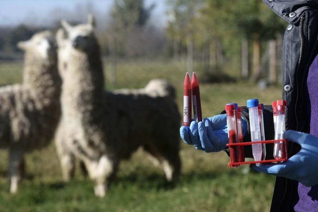 Llama Antibodies Have 'Considerable Promise' As A COVID-19 Therapy