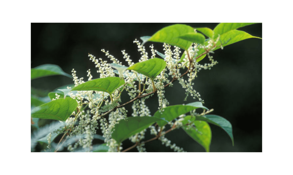 Relation Between Japanese Knotweed And Weight loss
